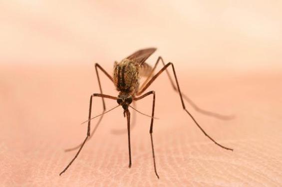 Комарец